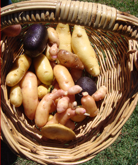 potatoes2007