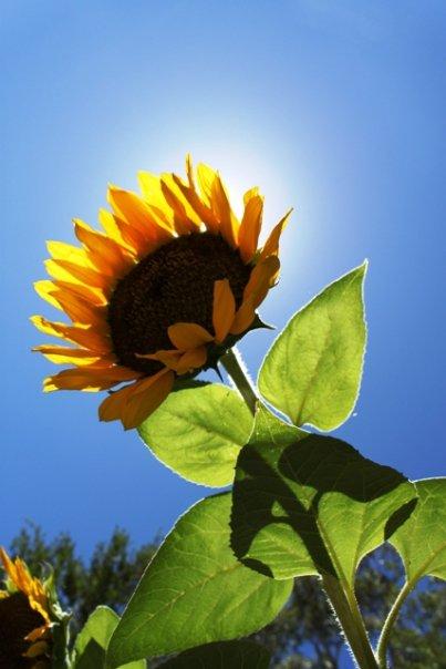 sunflowers4