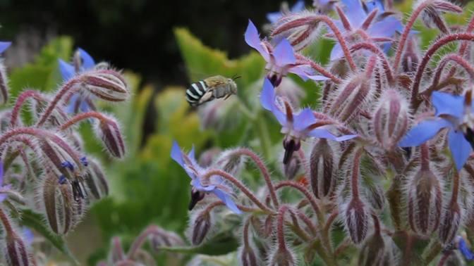Blue-banded bees (Amegilla)